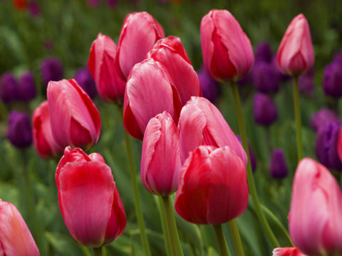 group of red and purple tulips