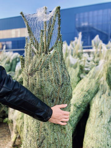 Man holding wrapped Christmas tree