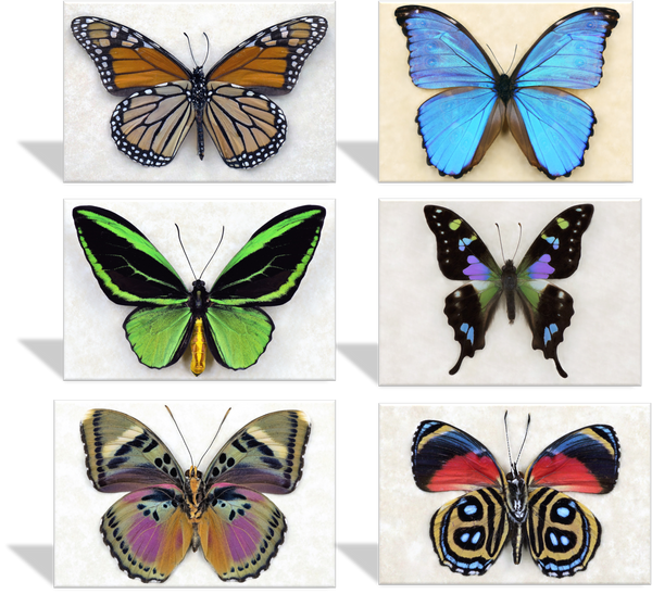 CRD-400 Butterfly Specimen Photo Cards