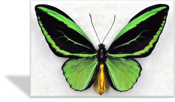 CRD-403 Green Birdwing Specimen Photo Card
