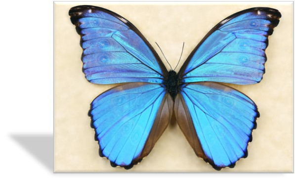 CRD-402 Blue Morpho Specimen Photo Card