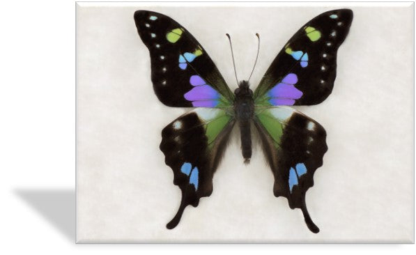 CRD-404 Purple Swallowtail Specimen Photo Card