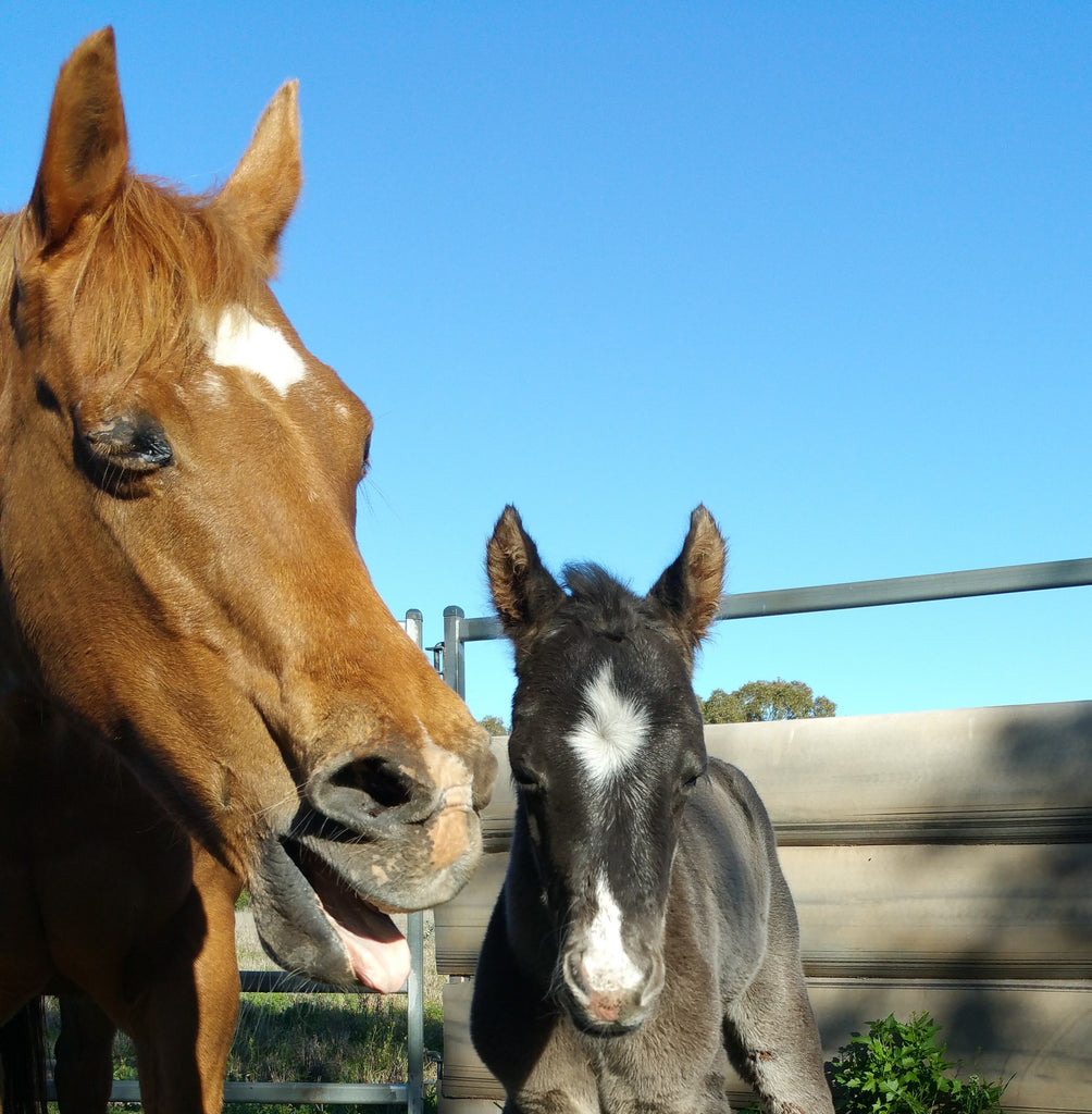 Mare yawning standing beside a cute black foal