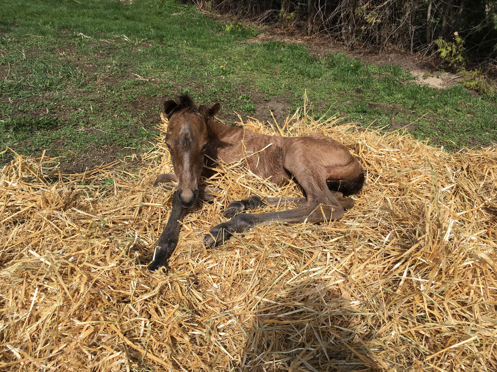 Foal using it's mothers hay as a bed.