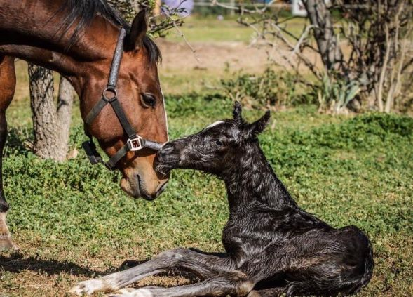 Mare wearing a smart foal alarm, bonding and sniffing her new born foal.