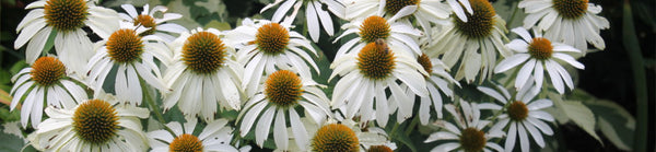 White/Cream Flowering Plants