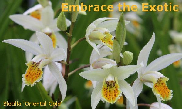 Image of Bletilla 'Oriental Gold' linking to Hardy Orchids