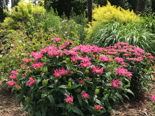 Learn About Perennial Plants | Plant Delights Nursery Articles