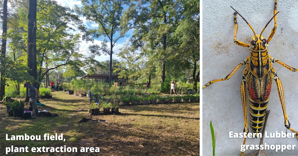 Lambou field plant extraction and grasshopper