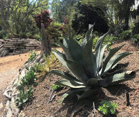 Hardy Agave growing in the Crevice Garden