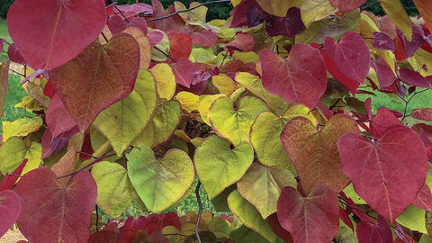 Cercis 'Flame Thrower'