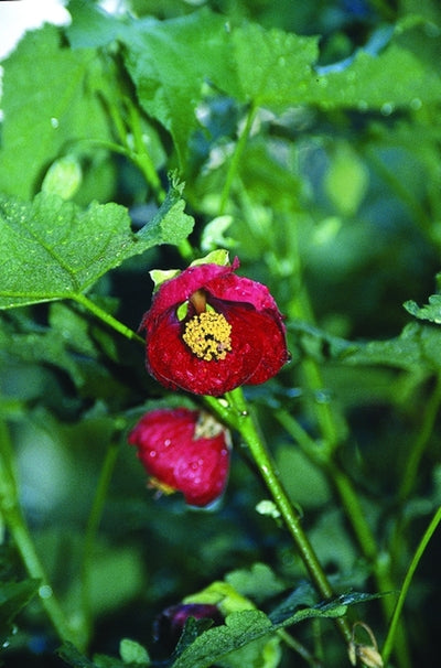 Abutilon x hybridum 'Red Princess'|Juniper Level Botanic Gdn, NC|
