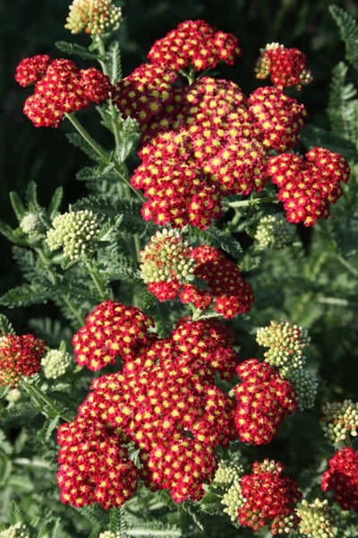 Achillea 'Strawberry Seduction' PP 18,401|Juniper Level Botanic Gdn, NC|