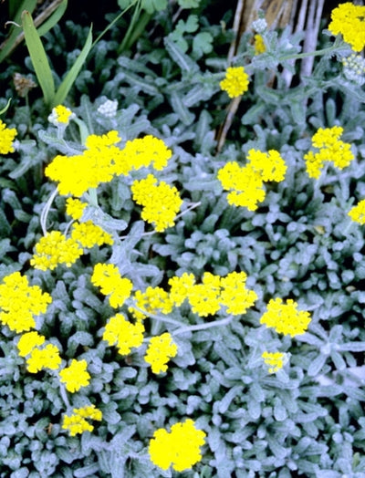 Achillea tomentosa 'King Edward'|Juniper Level Botanic Gdn, NC|