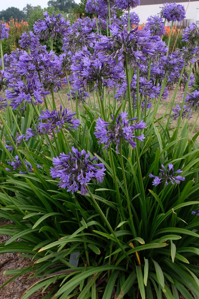 Agapanthus 'Navy Blue'|Walters Gardens, MI|T. Avent