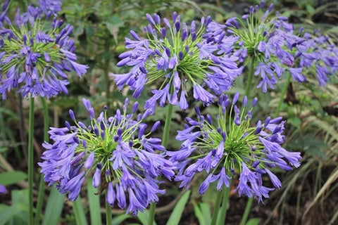 Agapanthus 'Stevie's Wonder'|Juniper Level Botanic Gdn, NC|