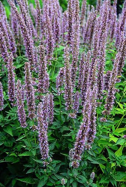 Agastache 'Blue Fortune'|Juniper Level Botanic Gdn, NC|