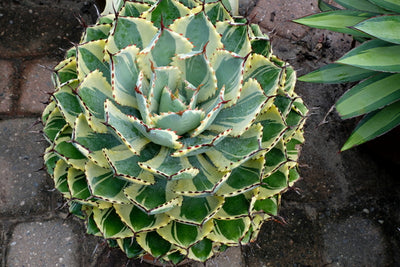 Agave 'Desert Diamond' PP 26,384|Juniper Level Botanic Gdn, NC|