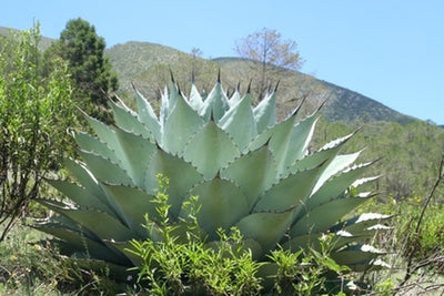 Agave 'Huasteca Giant'|In Situ, Mexico|G. Starr