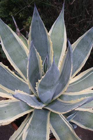 Agave americana 'Marshmallow Cream'|Juniper Level Botanic Gdn, NC|
