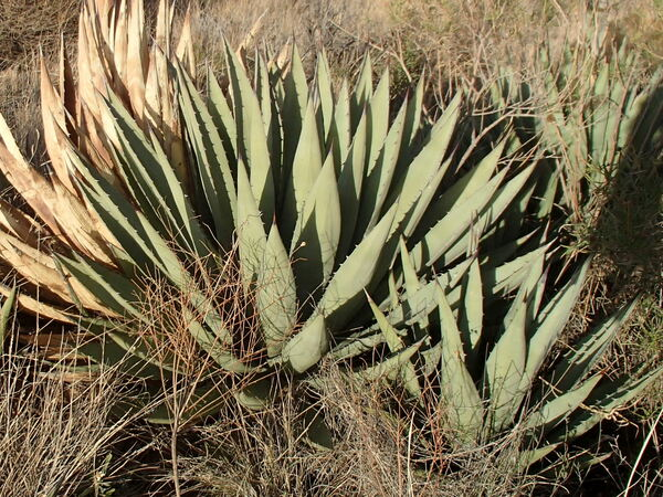Learn About Agave Gracilipes Culberson Kids Culberson Kids Hybrid Century Plant Perennial Encyclopedia By Plant Delights Nursery