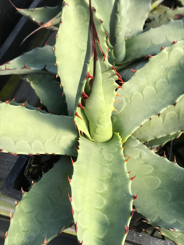 Agave havardiana 'Glass Mountain'
