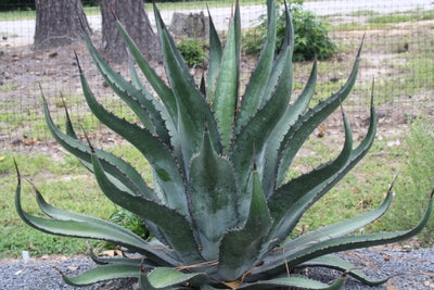 Agave x loferox 'Stairway to Heaven'|Juniper Level Botanic Gdn, NC|
