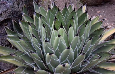 Agave nickelsiae|Huntington Gdn, CA|T. Avent