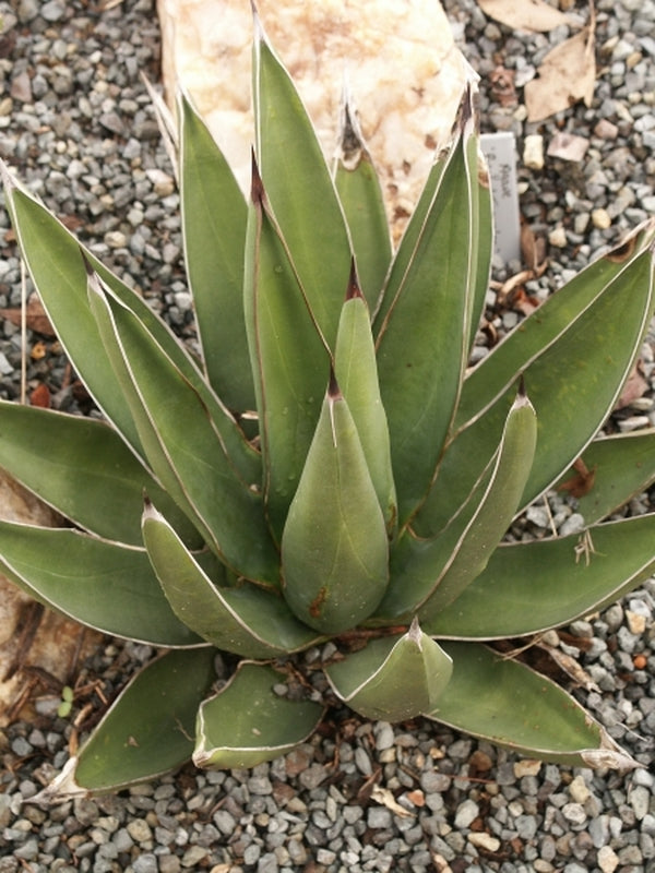 Agave x nickuilla 'Pointed Traveler'