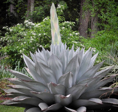 Agave Century Plant Blue Agave Plant Variegated Agaves