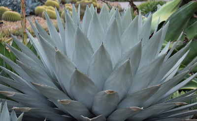 Agave parryi ssp. huachucensis 'Wakefield'|Huntington Gdn, CA|
