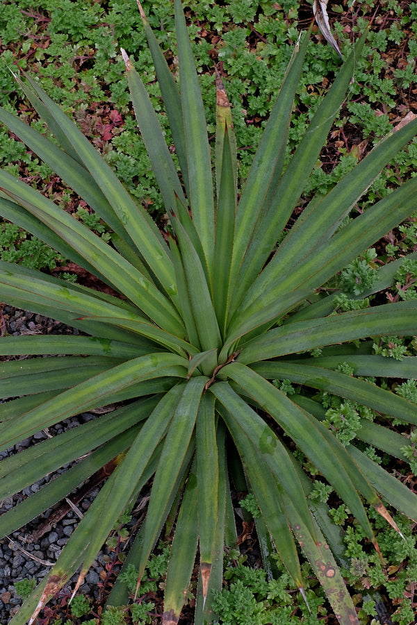 Agave x striphantha 'Band on the Run'