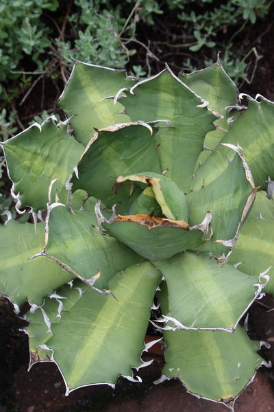Agave titanota 'Mean Streak'|Juniper Level Botanic Gdn, NC|