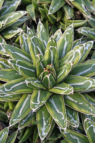 Agave victoriae-reginae 'Ring of Gold'|Juniper Level Botanic Gdn, NC|JLBG