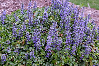 Ajuga reptans 'Texas Tough'|Juniper Level Botanic Gdn, NC|JLBG