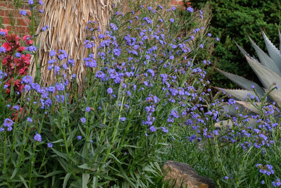 Anchusa capensis 'Blue Angel'|Juniper Level Botanic Gdn, NC|JLBG