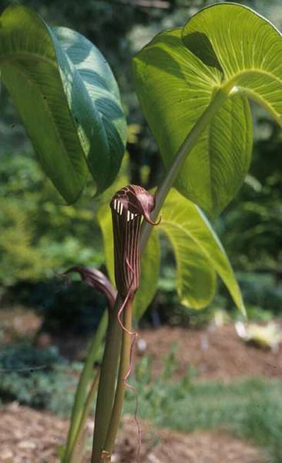 Arisaema costatum|Sauls Road|