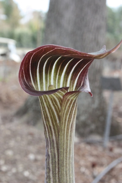 Arisaema serratum var. mayebarae|Juniper Level Botanic Gdn, NC|