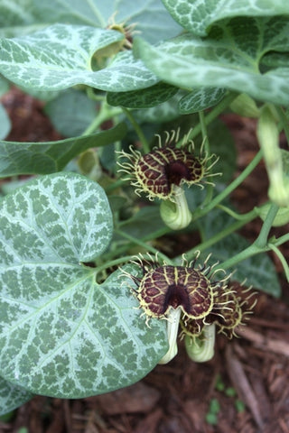 Aristolochia fimbriata|Juniper Level Botanic Gdn, NC|