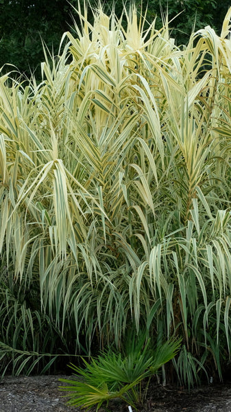 Arundo donax 'Peppermint Stick'|Juniper Level Botanic Gdn, NC|JLBG