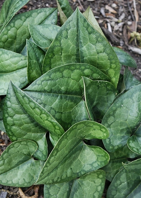 Image of Asarum inflatum 'Shanghai'