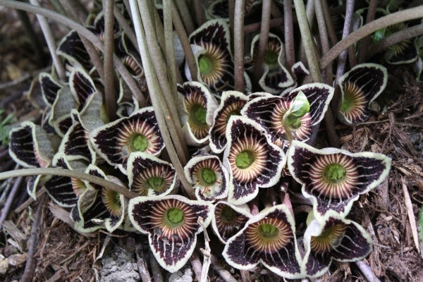 Asarum speciosum 'Woodlanders Select'