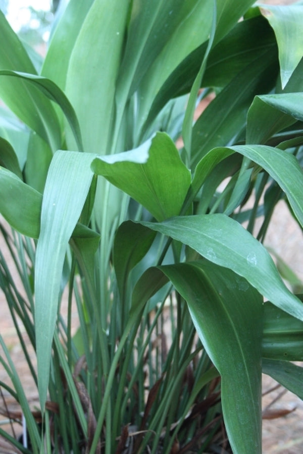 Aspidistra fimbriata 'Secret Stalker'