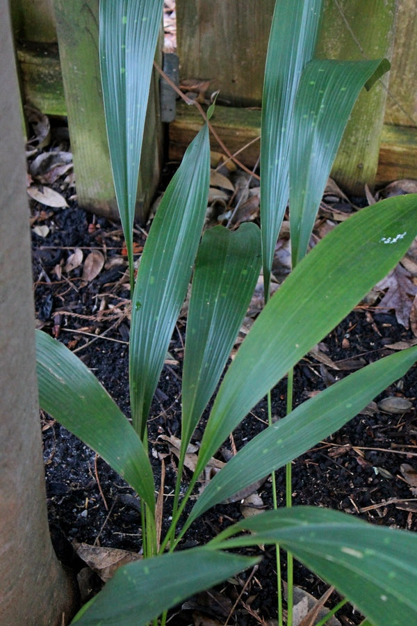 Image of Aspidistra sichuanensis 'Thin Slice'