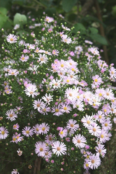 Aster ericoides 'Pink Star'|Juniper Level Botanic Gdn, NC|JLBG