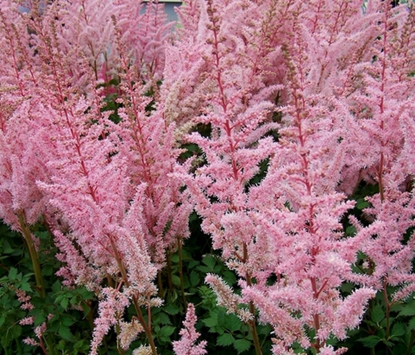 Astilbe chinensis 'Mighty Pip'