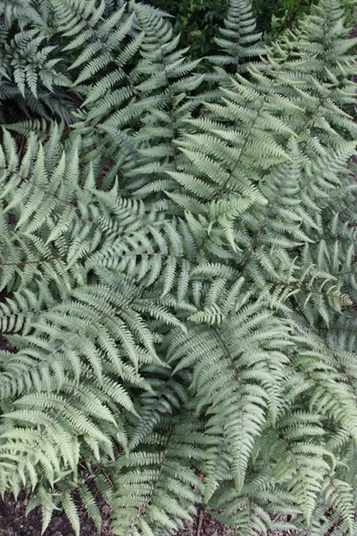 Athyrium 'Branford Beauty'|Juniper Level Botanic Gdn, NC|