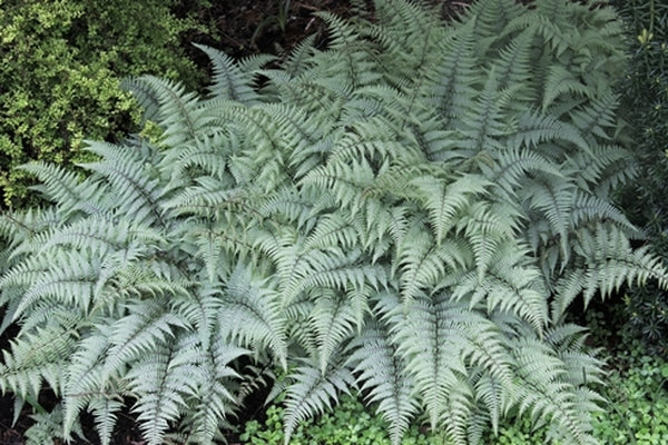 Image of Athyrium 'Ghost'