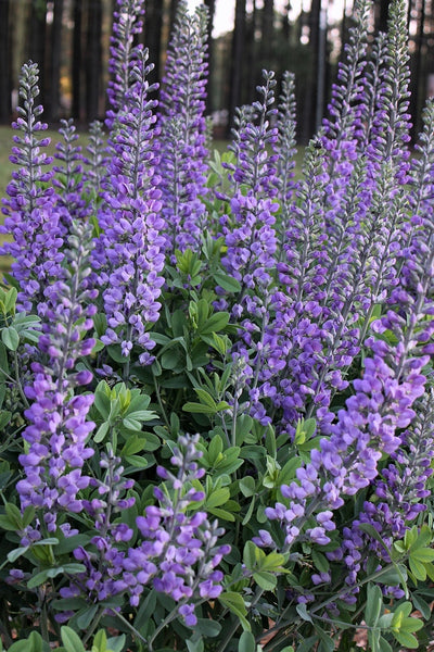 Baptisia 'Blue Towers' PP 27,088|Juniper Level Botanic Gdn, NC|