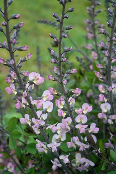 Baptisia 'First Blush'|Juniper Level Botanic Gdn, NC|JLBG